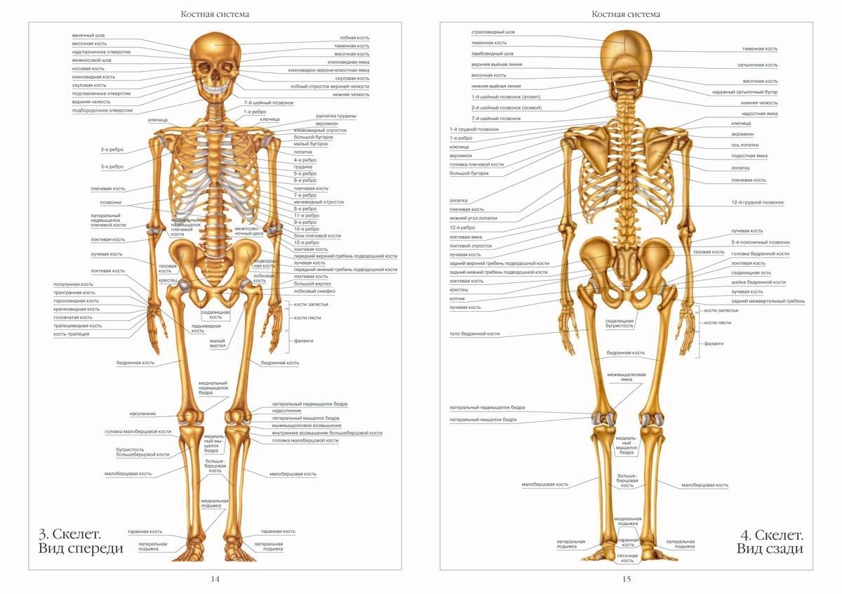 Картинки скелета человека с органами и описанием
