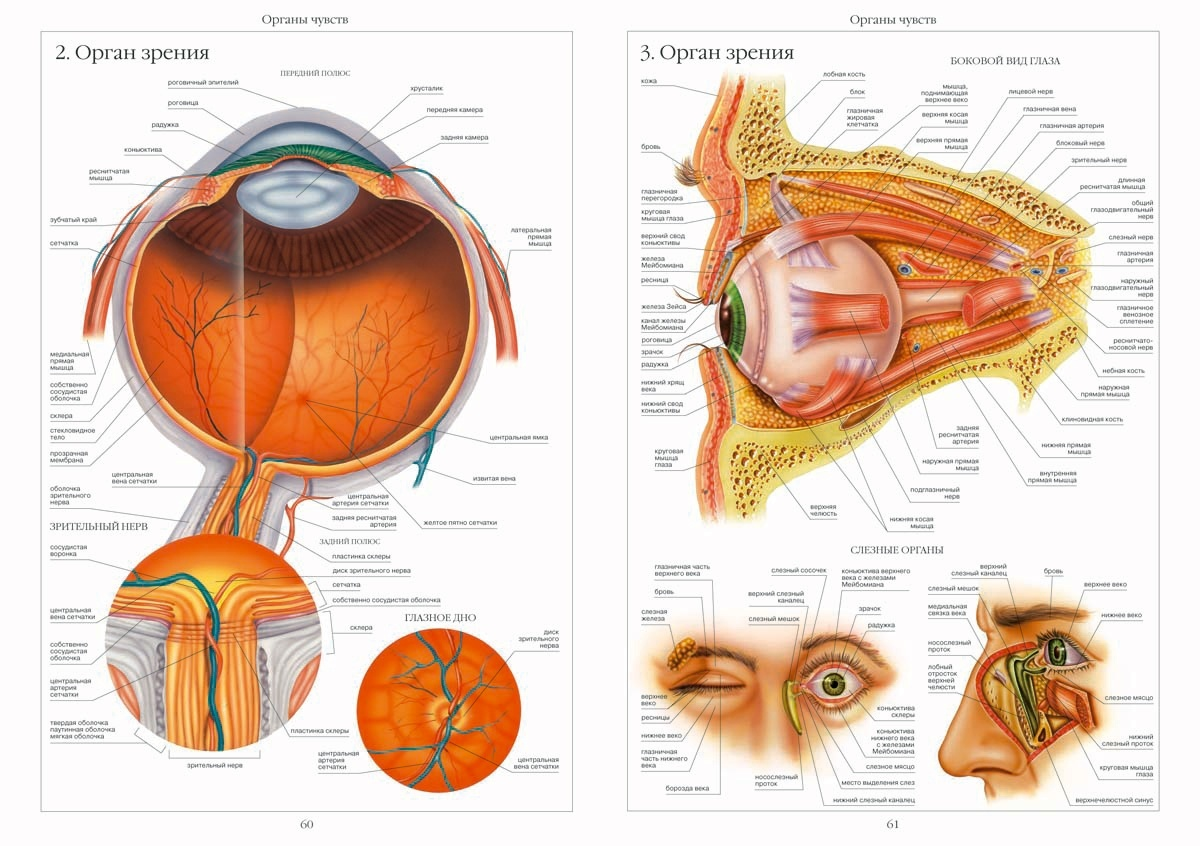 Anatomy organs diagram